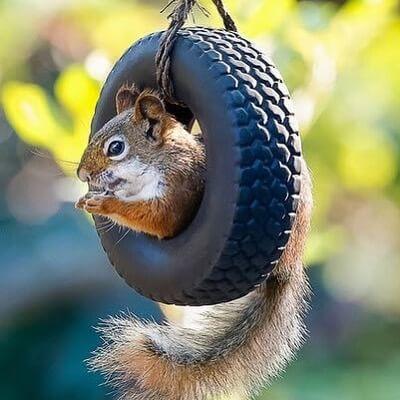 écureuil des pneus recyclés